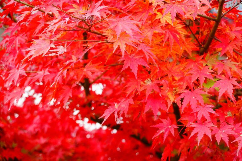 【日帰り】秋山郷もみじ狩りと写真撮影会① 10月末コース
